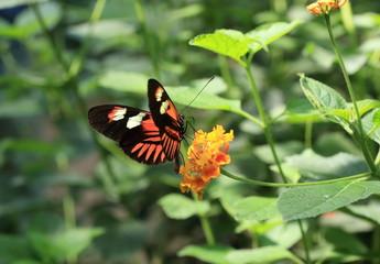 papillon butinant sur lantana