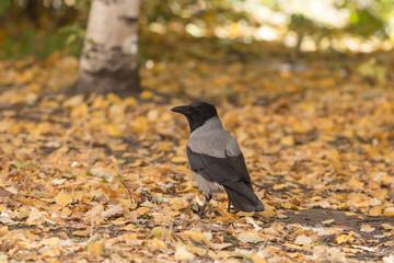 crow on autumn leaves