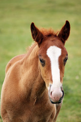 cute brown foal portrait