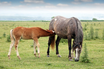 foal breastfeeding in the field