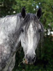 Hanoverian Horse. Portrait of the gray mare
