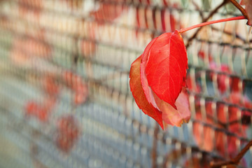 Autumn red leaves with shallow depth of field
