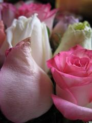 Una singola rosa può essere il mio giardino