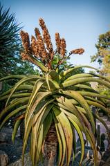 Enormous Aloe