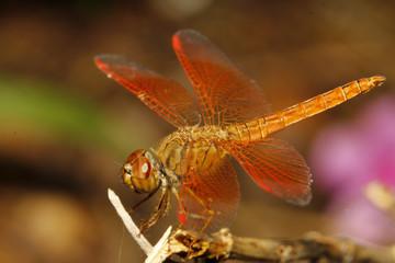 close up orange dragonfly in garden thailand