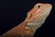 Bearded dragon / Pogona vitticeps