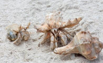 Hermit crab on white sand beach