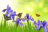 Iris flowers with dewy grass and butterflies