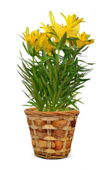 Yellow lily flowers in pot isolated on white background
