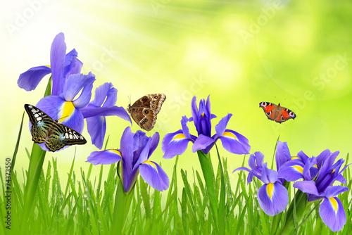 Foto op Canvas Iris Iris flowers with dewy grass and butterflies