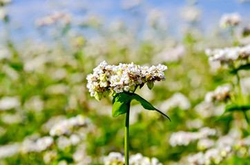 Buckwheat blooming against the sky and field