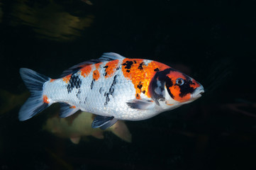 Different colorful koi fishes swimming in aquarium