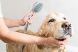 Bathing a dog Golden Retriever