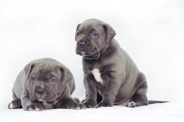 Grey cane corso puppies