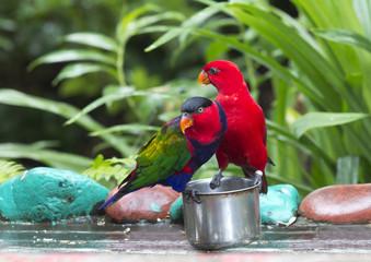 Пара попугаев Лори
