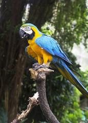 Попугай сине-желтый Ара.