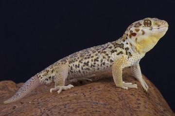 Frog-eyed gecko / Teratoscincus roborowski