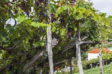 Vineyards in Madeira Island