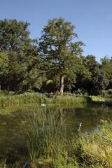 Chéne, Quercus robur, Parc floral de la Court d'Aron,85