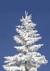 Fir under snow