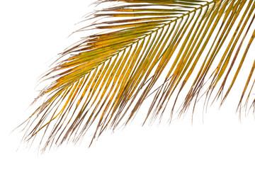 palme de cocotier sur fond blanc