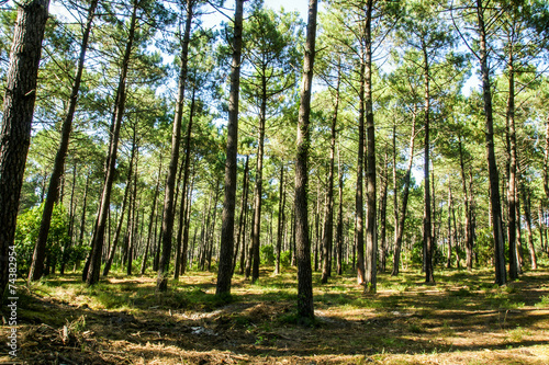 Fotobehang Bossen Forêt landaise