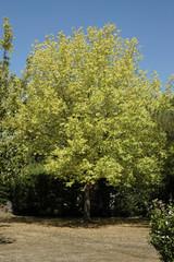 Erable, Acer griseum