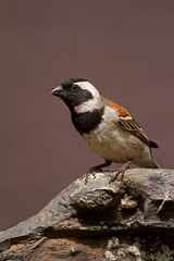 Male Cape Sparrow perched on rock; Passer melanurus