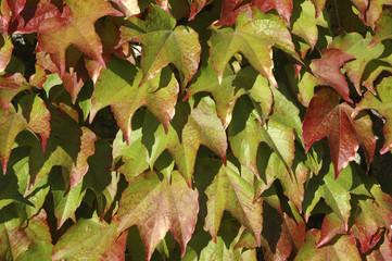 Vigne vierge, Parthenocissus quinquefolia engelmanii