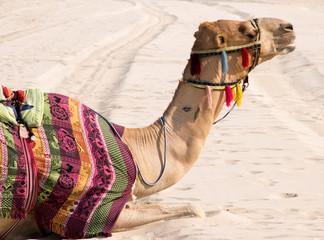 Kamel im Sand