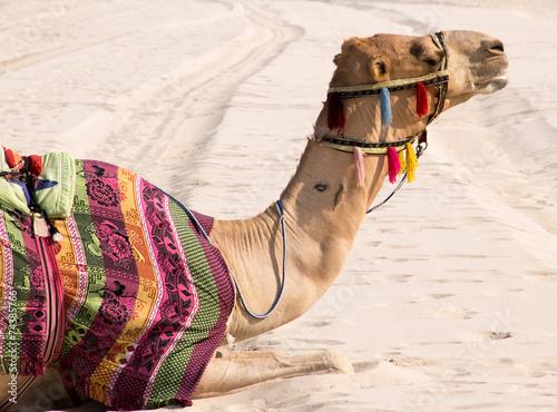 Foto op Canvas Kameel Kamel im Sand