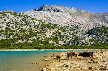 Cattle beside Cuber Reservoir