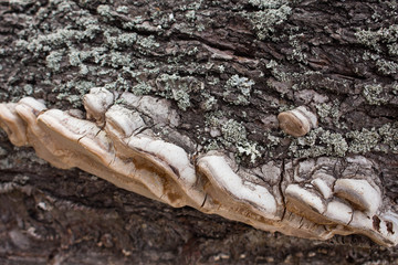 Chaga on the bark of an almond tree