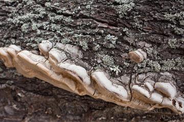 Chaga on the bark of an almond tree