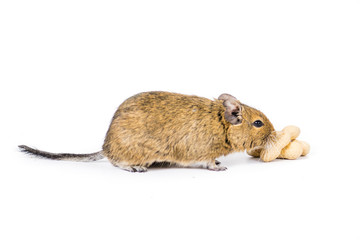 Degu with a nut