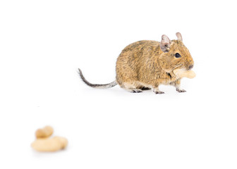 Degu with some nuts