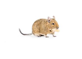 Cute Degu with a nut
