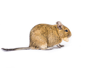 Small Degu with a nut