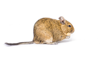 Close up of a Degu with a nut