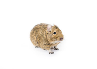 Picture of a pet Degu