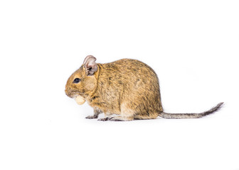 Degu with a nut on a white background