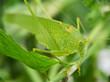 Macro shot of grasshopper.