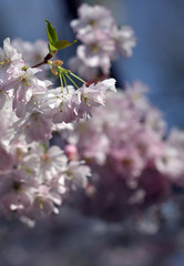 The sakura blossom under warm spring light