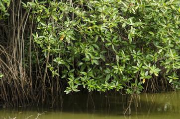 Mangrove tree at mangrove forest