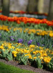 The big amount of purple and yellow crocuses growing in the park