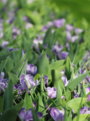 The big amount of purple crocuses growing in the park