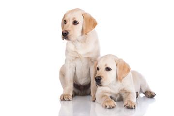 two labrador puppies on white