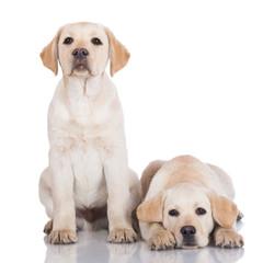 two adorable labrador puppies