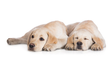 two labrador puppies lying down