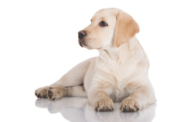 serious yellow labrador retriever puppy